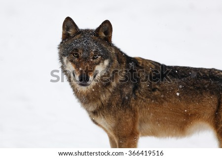 curious wolf at close range in snowfall - stock photo
