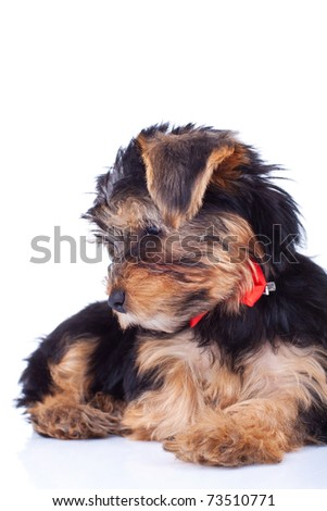 Curious yorkie puppy, sitting and looking at something - stock photo