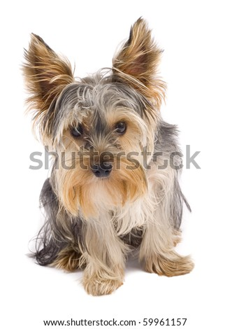 curious yorkshire terrier puppy standing on white background looking at the camera - stock photo