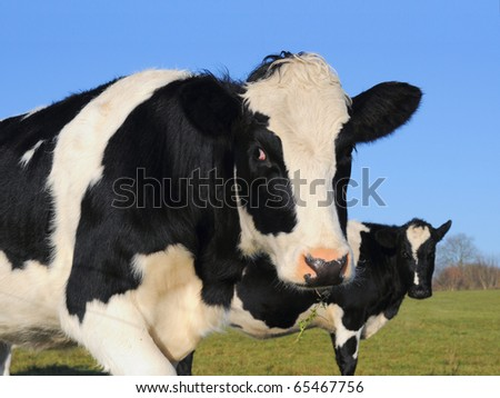 Curious young cows in a green field - stock photo