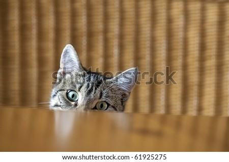 curious young kitten looking over a table - stock photo
