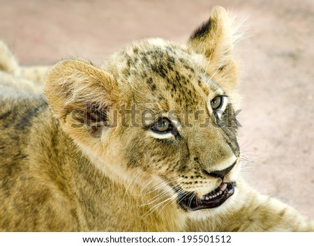 Curious young lion - stock photo