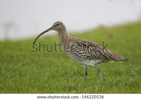 Curlew, Numenius arquata, single bird by water, Highlands, Scotland, November 2012