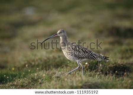Curlew walking on grass
