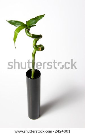 Curly bamboo stalk in a tall vase - stock photo