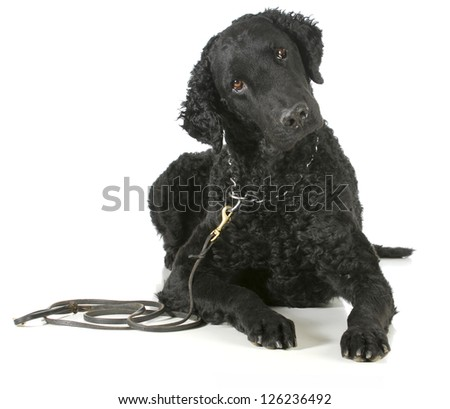 curly coated retriever on a leather leash and choke collar isolated on white background - stock photo