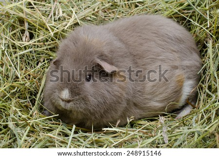 curly guinea pig in hay - stock photo