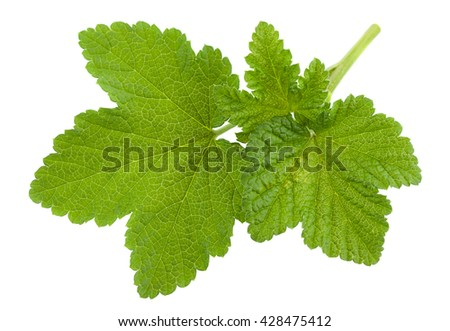 Currant leaf closeup isolated on white background