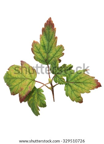 Currant leaves affected by iron deficiency disease isolated on white background with clipping path. - stock photo