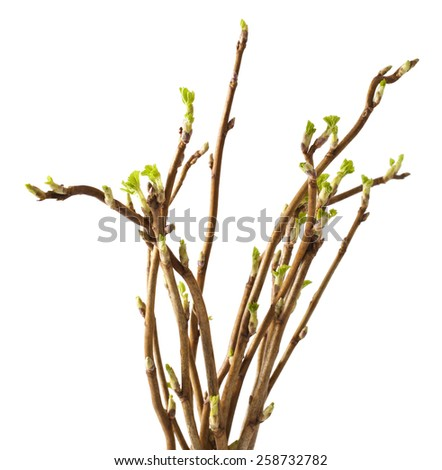 Currant twig with sprouts on white background - stock photo