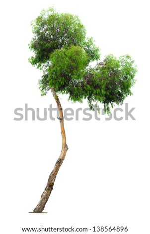 curved but green and beautiful eucalyptus tree isolated on white background