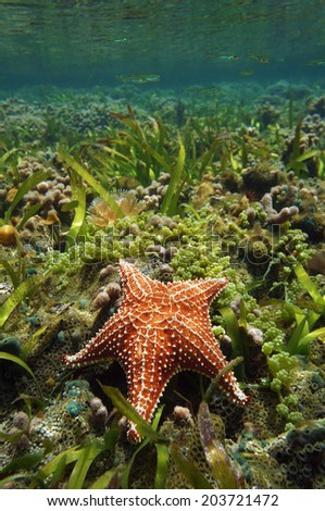 Cushion sea star Oreaster reticulatus, underwater, in a shallow coral reef, Caribbean sea - stock photo