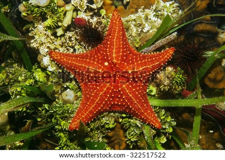 Cushion sea star underwater on the seabed viewed from above, Caribbean sea - stock photo