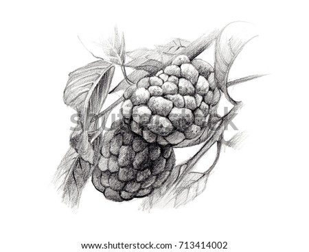 Custard Apple Illustration Hand Drawing By Pencil Isolated On White Background