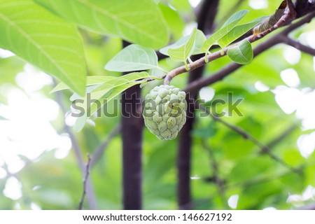 Custard apples growing - stock photo