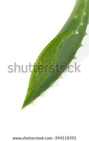 cut aloe leaf closeup on white background