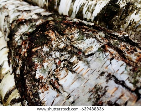cut birch-tree