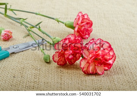 Cut carnation on burlap beside scissors
