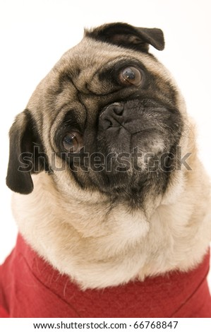Cut Pug Dressed Up for Christmas Against White Background.