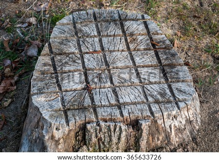 Cut tree trunk adorned with saw showing the annual rings - stock photo