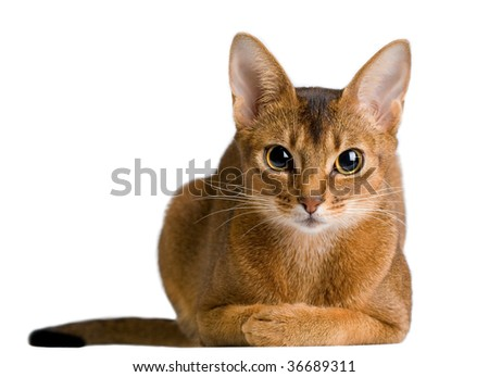 cute abyssinian cat - stock photo