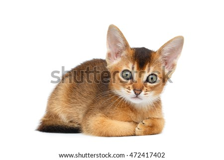 Cute Abyssinian Kitty Funny Lying and Looks in Camera on Isolated White Background, Front view, paws together