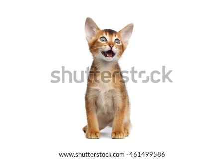 Cute Abyssinian Kitty Meowing on Isolated White Background, Front view, Baby Animal