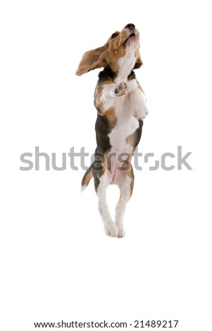 Cute adorable beagle jumping high looking like he is flying - stock photo