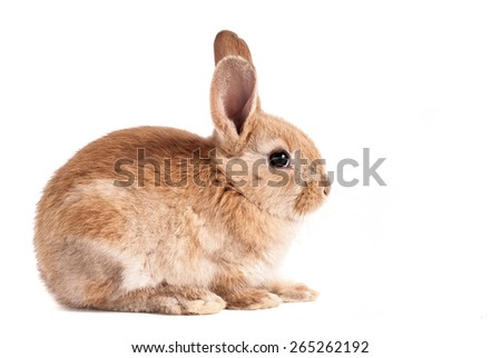Cute adorable brown baby easter bunny on isolated white background - stock photo