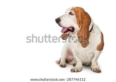 Cute adult Basset Hound dog sitting down and looking to the side into blank copy space