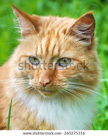 cute adult red color cat outdoor - stock photo