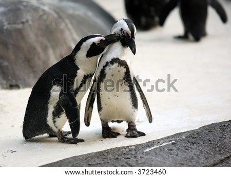 Cute affectionate penguin couple at the zoo