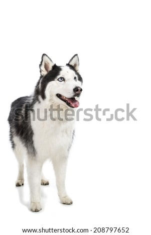 Cute Alaskan Malamute Husky breed dog standing and smiling  and isolated on white. With copy space. - stock photo
