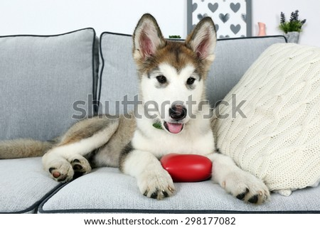 Cute Alaskan Malamute puppy on sofa, close up - stock photo