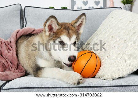 Cute Alaskan Malamute puppy with toy ball on sofa, close up - stock photo