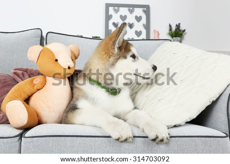 Cute Alaskan Malamute puppy with toy bear on sofa, close up - stock photo
