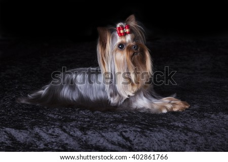 Cute alert Yorkshire Terrier lies on a black velour blanket - stock photo