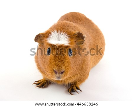 Cute American crested guinea pig (isolated on white) - stock photo
