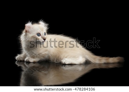 Cute American Curl White Kitten with Twisted Ears and Blue eyes Lying on Mirror, Looking back, Isolated Black Background, Side view