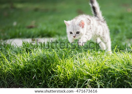 Cute American short hair kitten jumping on the field