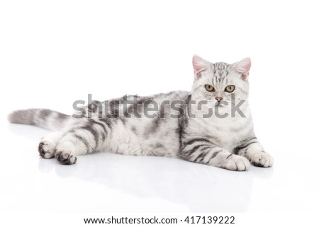 Cute  American Shorthair kitten lying and looking on white background isolated - stock photo