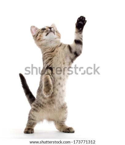 cute American shorthair tabby kitten on white background - stock photo