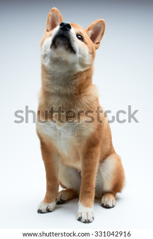 Cute and adorable shiba inu puppy on pure white background