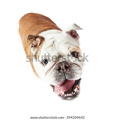 Cute and attentive Bulldog breed dog sitting on white looking up with happy expression - stock photo