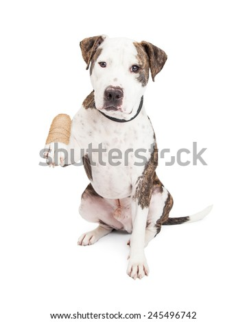 Cute and friendly Pit Bull Dog holding up an injured and bandaged paw - stock photo