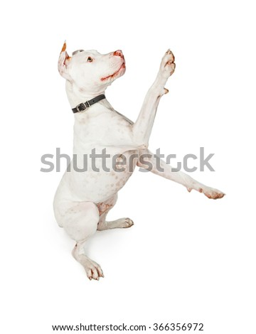 Cute and friendly Pit Bull mixed breed dog sitting up to the side with paws up in the air playing - stock photo