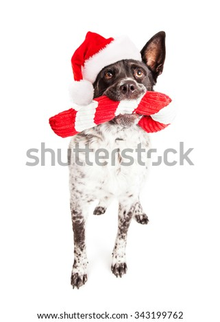 Cute and funny Australian Shepherd crossbreed dog wearing a Christmas Santa Claus hat carrying a stuffed candy cane toy in his mouth