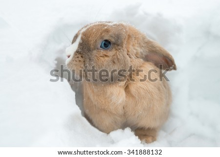 Cute and funny fawn fluffy rabbit with blue eyes sitting on ground. Rabbit ear hangs down. Animal in nature in winter. Adorable bunny isolated by white snow.