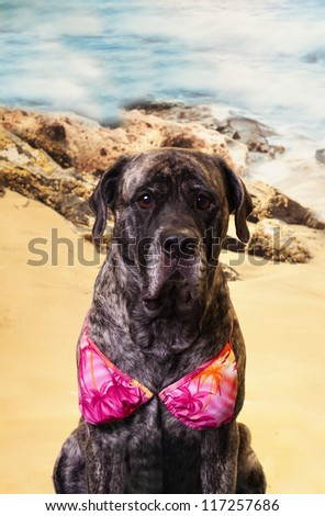 Cute and funny picture of an english Mastiff dog in a beach scene and bikini.