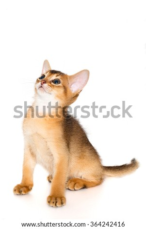 cute and lovely purebred abyssinian kitten looking up wondering, isolated on the white background